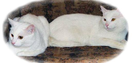 к чему снятся белые коты