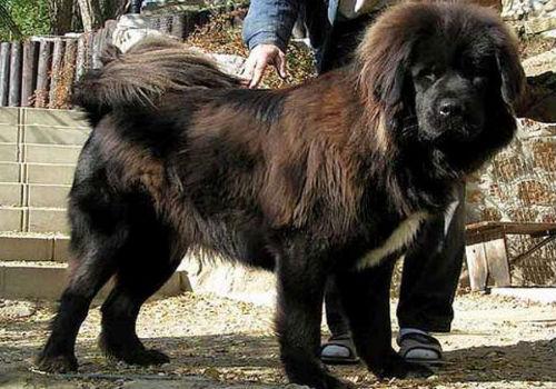 Фото Сонник большая собака в доме