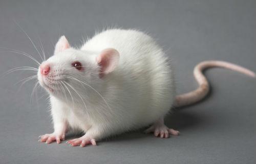 Белая крыса сонник