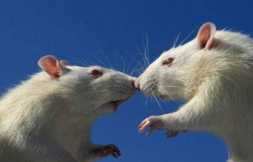 сонник белая крыса