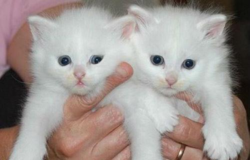 белые котята на руках