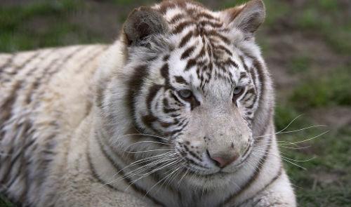 Белый тигр толкование сонника