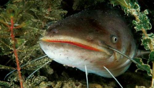 Большая рыба сон