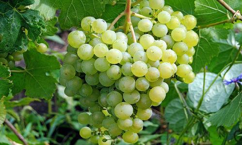 Виноград толкование сонника