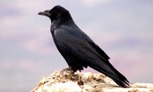 ворона во сне