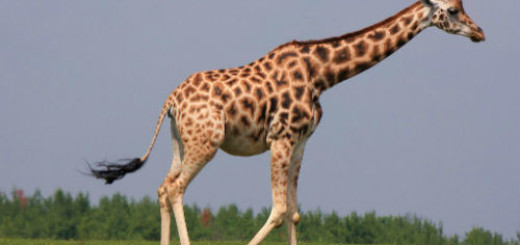 Жираф толкование сонника