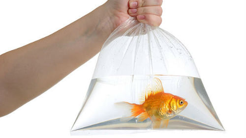 живая золотая рыбка