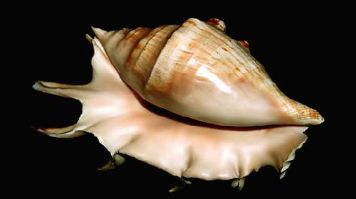 сонник раковина с моллюском