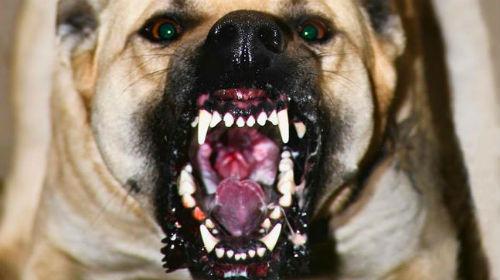 Сонник злая собака кидается и лает фото