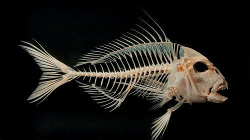 к чему снится скелет рыбы