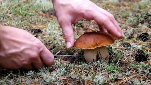 собирать белые грибы во сне