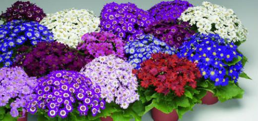 сонник комнатные цветы