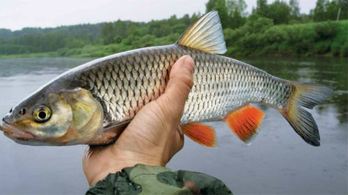 ловить рыбу руками
