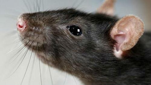 Картинки по запросу крыса