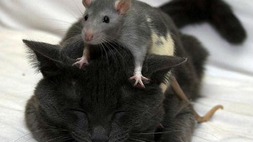 серая крыса нападает