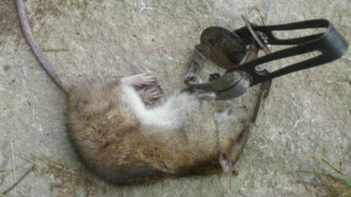 к чему снится мертвая серая крыса