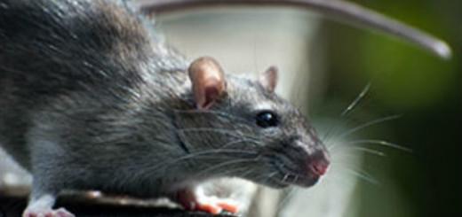 крыса убегает во сне