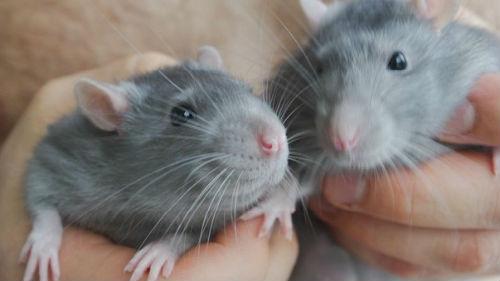 к чему снятся крысята женщине