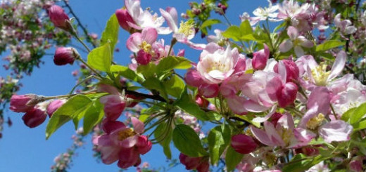 к чему снится цветущая яблоня