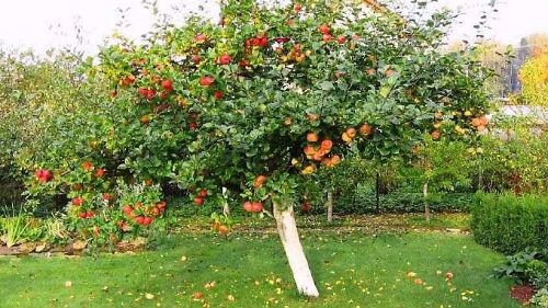 яблоня во сне
