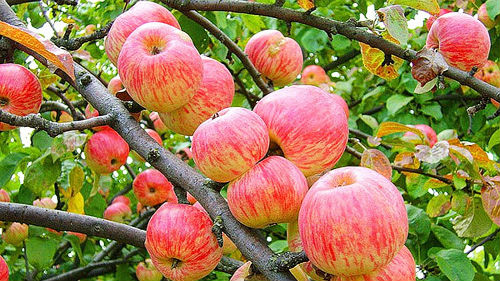трясти яблоню