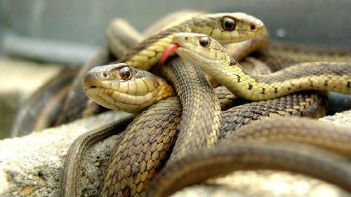 много змей в доме