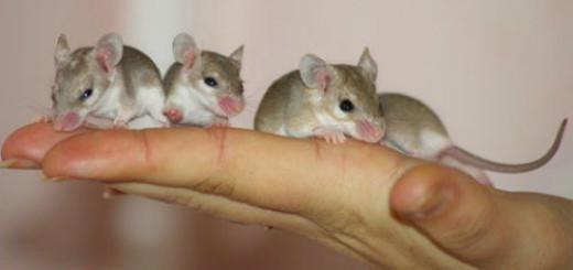 маленькие мыши серые во сне