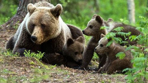 К чему беременной снятся медвежата