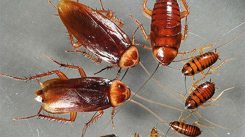 к чему снятся рыжие тараканы