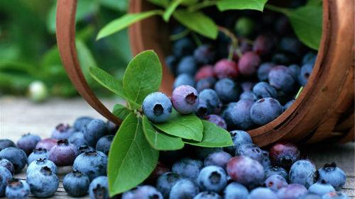 собирать черные ягоды