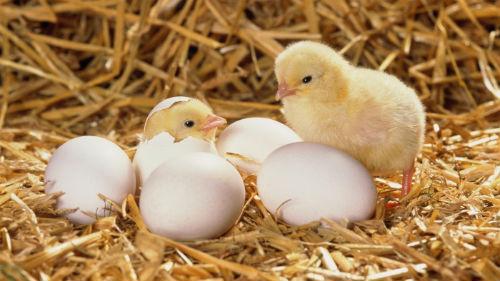 цыплята вылупились из яиц