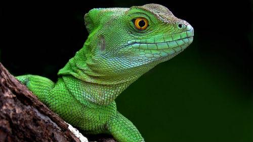 ящерица зеленая во сне