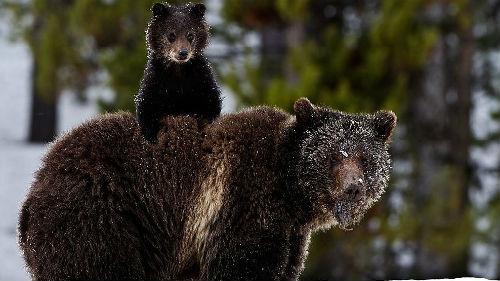 к чему снится медведь с медвежонком женщине