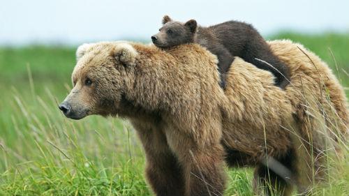 медведи бурые с медвежатами