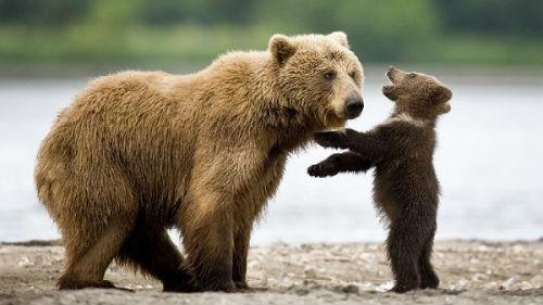 медведь с медвежонком во сне