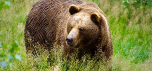 медведица во сне