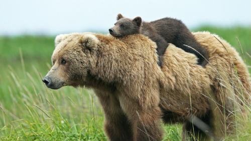 медведица с медвежонком гонится