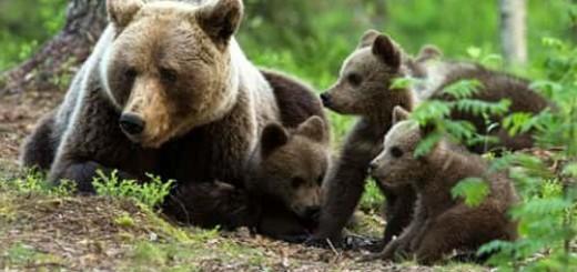 медведица с медвежатами во сне