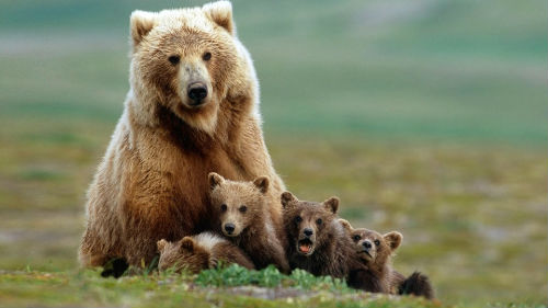 к чему снится медведица женщине