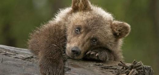 медвежонок маленький во сне