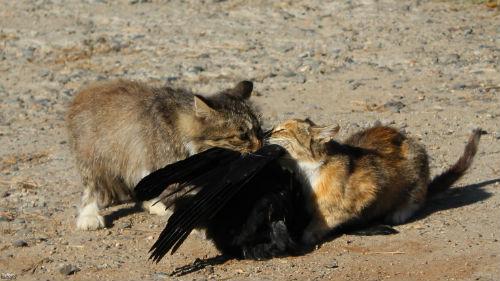 к чему снится мертвый ворон женщине