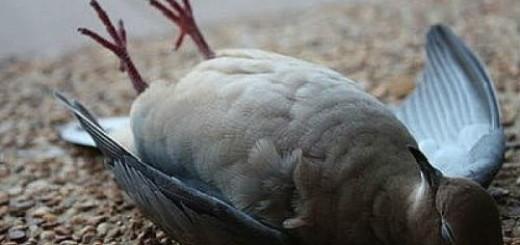 мертвый голубь во сне