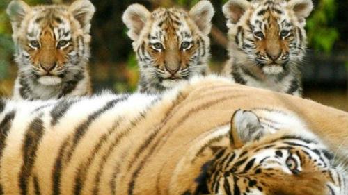 тигрята и тигрица