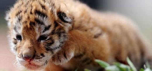 тигренок маленький во сне