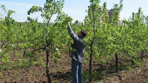 уход за плодовыми деревьями в мае 2020