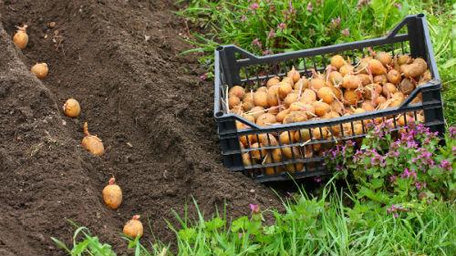сажать картофель в мае 2020