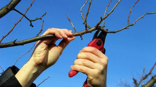 обрезка садовых деревьев в феврале