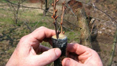 прививка плодовых деревьев в марте