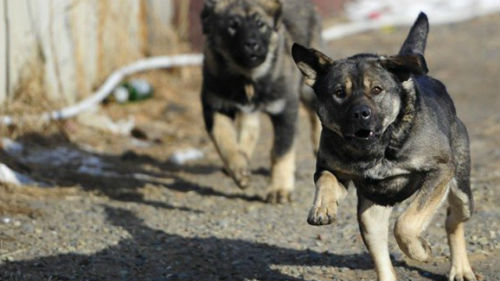 к чему снятся собаки которые нападают