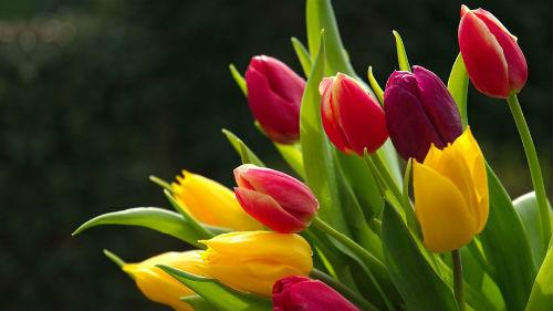 тюльпаны подарили